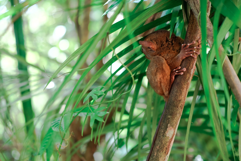 tarsiers bohol