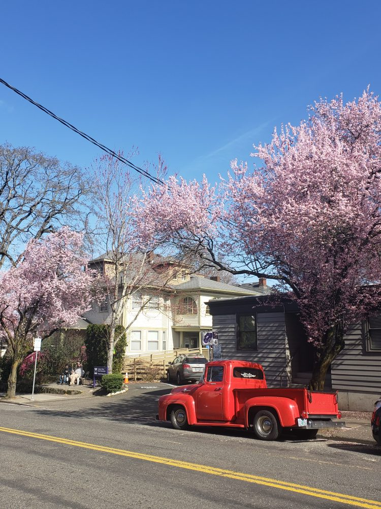 portland cherry blossom